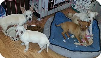 Chihuahua Puppy for adoption in temecula, California - Copper