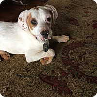 Adopt A Pet :: Butters - Windham, NH