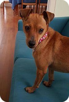 Dachshund/Corgi Mix Dog for adoption in San Antonio, Texas - Hailey