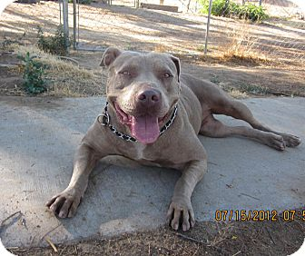 "American Staffordshire Terrier/Pit Bull Terrier Mix Dog for adoption in Bellflower, California - Penelope ""Nell"""