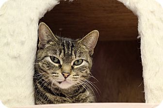 Domestic Shorthair Cat for adoption in Chicago, Illinois - Roobaloo