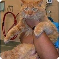Adopt A Pet :: Tango - Arlington, VA