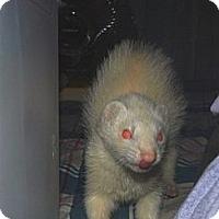 Adopt A Pet :: Weasel - Acworth, GA