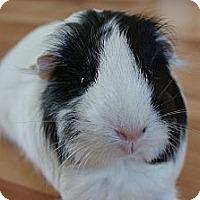 Adopt A Pet :: MooMoo - Brooklyn Park, MN