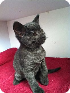Domestic Shorthair Cat for adoption in Mount Laurel, New Jersey - Panther