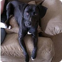 Adopt A Pet :: Miley - Hamilton, ON