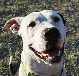 Dalmatian/Great Dane Mix Dog for adoption in Phoenix, Arizona - Hercules