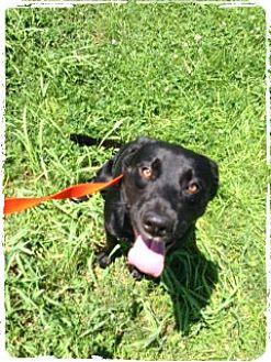 Labrador Retriever Dog for adoption in Aurora, Missouri - Zeus