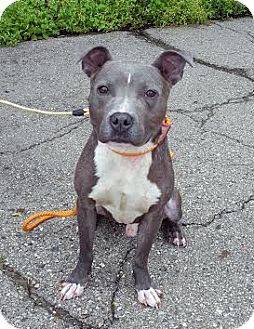 American Staffordshire Terrier Mix Dog for adoption in Detroit, Michigan - Jazz aka Chance-Adopted!