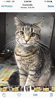 Domestic Shorthair Cat for adoption in Evansville, Indiana - Bam