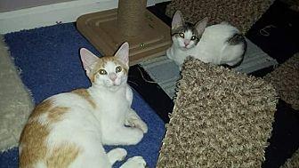Domestic Shorthair Kitten for adoption in Scottsdale, Arizona - Honey