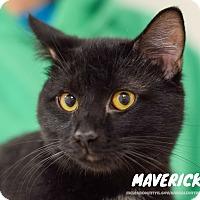 Adopt A Pet :: Maverick - Hanna City, IL