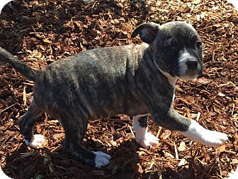 Boxer/Labrador Retriever Mix Puppy for adoption in Manchester, New Hampshire - Sasha