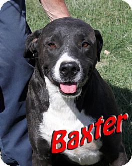 Labrador Retriever/American Pit Bull Terrier Mix Dog for adoption in Midland, Texas - Baxter