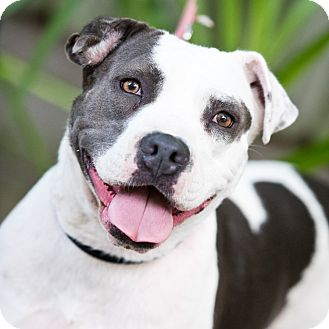 Pit Bull Terrier/Staffordshire Bull Terrier Mix Dog for adoption in Houston, Texas - Angel
