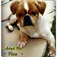 Pekingese Mix Dog for adoption in Queen Creek, Arizona - Pico