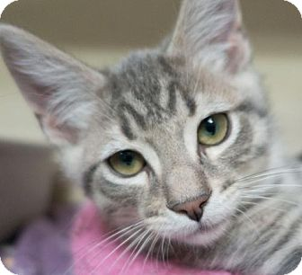 Domestic Shorthair Cat for adoption in Redwood City, California - 431233