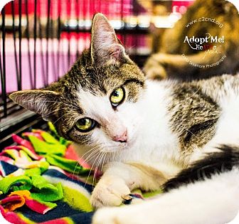 Domestic Shorthair Kitten for adoption in Mooresville, North Carolina - A..  Jasmine