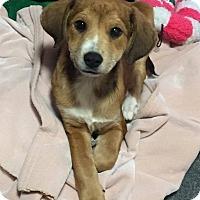 Adopt A Pet :: GOLDIE - Berwick, ME