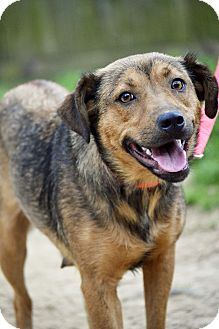 German Shepherd Dog/Labrador Retriever Mix Dog for adoption in Hagerstown, Maryland - Roxy Girl