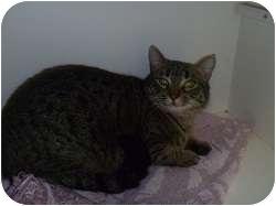 Domestic Shorthair Cat for adoption in Hamburg, New York - Tanya