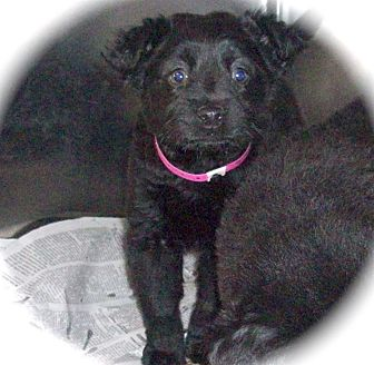 Border Collie/Retriever (Unknown Type) Mix Puppy for adoption in CHAMPAIGN, Illinois - LUCY