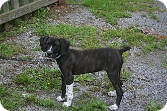 Spaniel (Unknown Type) Mix Puppy for adoption in Morgantown, West Virginia - Rosie