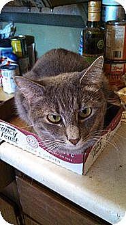 Domestic Shorthair Cat for adoption in Scottsdale, Arizona - Puff-soft as powder