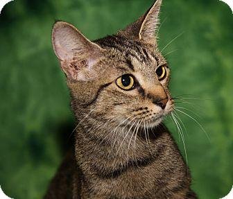 Domestic Shorthair Cat for adoption in Marietta, Ohio - Sasha (Spayed) - Updated Photo