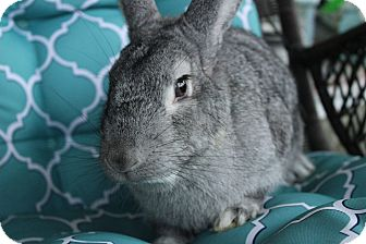 Chinchilla, American Mix for adoption in Hillside, New Jersey - Cookie