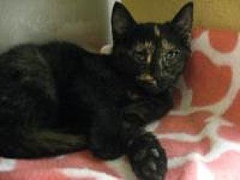 Domestic Shorthair Cat for adoption in Logan, Utah - Rose
