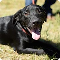 Labrador Retriever Mix Dog for adoption in Providence, Rhode Island - Charlie RH CP