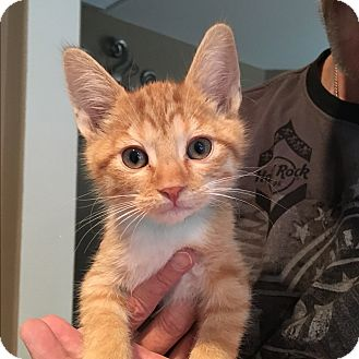 Domestic Shorthair Kitten for adoption in Palm Springs, California - Julian