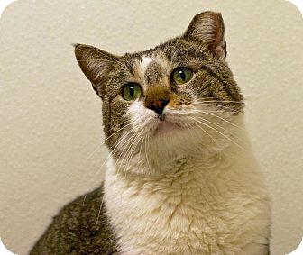 Domestic Shorthair Cat for adoption in Troy, Michigan - Gareth