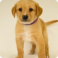 Adopt A Pet :: Ruby - Centreville, VA