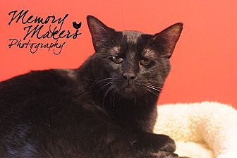 Domestic Shorthair Cat for adoption in Topeka, Kansas - Brooks