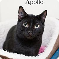 Adopt A Pet :: Apollo - Shelton, WA