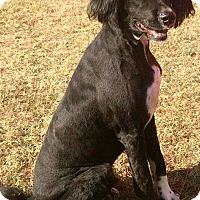 English Springer Spaniel Mix Dog for adoption in Dawson, Georgia - Maverick