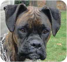 Boxer Dog for adoption in Grafton, Massachusetts - Moxie