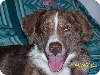 Australian Shepherd/Labrador Retriever Mix Dog for adoption in Minneapolis, Minnesota - Tanner