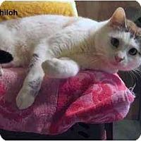 Adopt A Pet :: Shiloh - Portland, OR