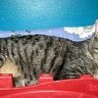 Manx Cat for adoption in Powell, Ohio - Dollie