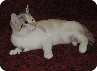 Snowshoe Cat for adoption in Plano, Texas - LEILANI - LOVES ATTENTION