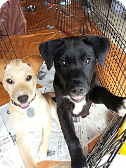 Labrador Retriever Mix Puppy for adoption in South Jersey, New Jersey - Pam