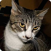 Domestic Shorthair Cat for adoption in Schertz, Texas - Darby