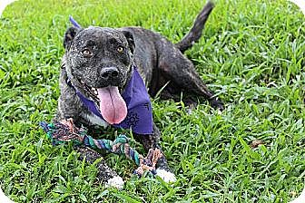 American Staffordshire Terrier/American Bulldog Mix Dog for adoption in Thibodaux, Louisiana - Bianca K91-7436