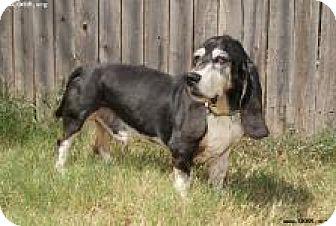 Basset Hound Dog for adoption in Norman, Oklahoma - Boomer