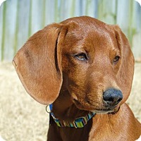Adopt A Pet :: *Rayni - PENDING - Westport, CT