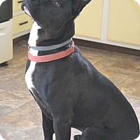 Pit Bull Terrier Mix Dog for adoption in East Smithfield, Pennsylvania - Buddy