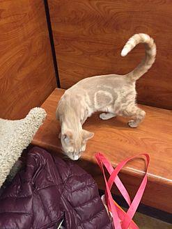Bengal Cat for adoption in Cranford/Rartian, New Jersey - Pecan